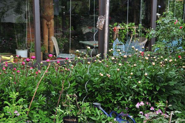 die Pfingstrosen vor dem Wintergarten kurz vor der Blütenöffnung pünktlich zum Pfingstfest