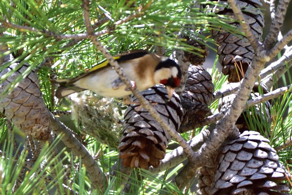 die Stieglitze oder Distelfinken, sehr eifrig beim Nestbau