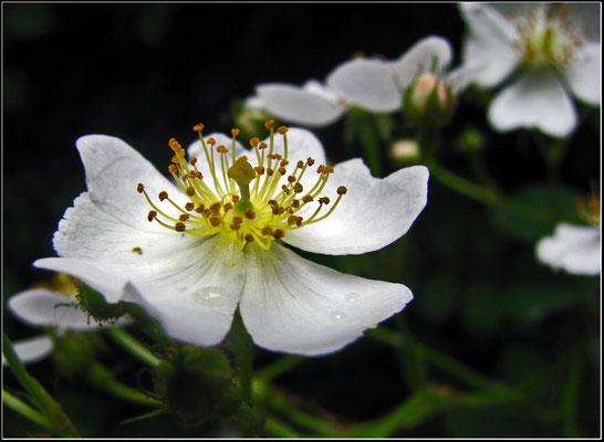 Kleine Heckenrose