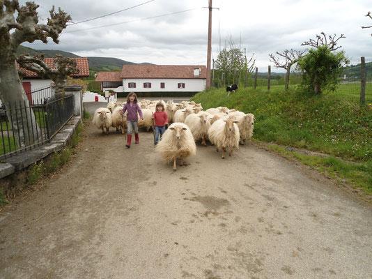 les filles conduisent le troupeau