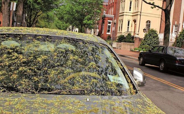 Pólen acumulado num carro. Foto: Wochenkurier