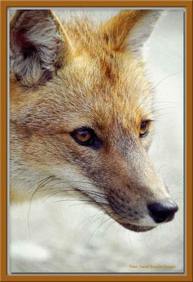 4.Fuchs, P.N. Tierra del Fuego,Argentinien