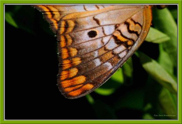 JM067.RPR Schmetterlingflügel