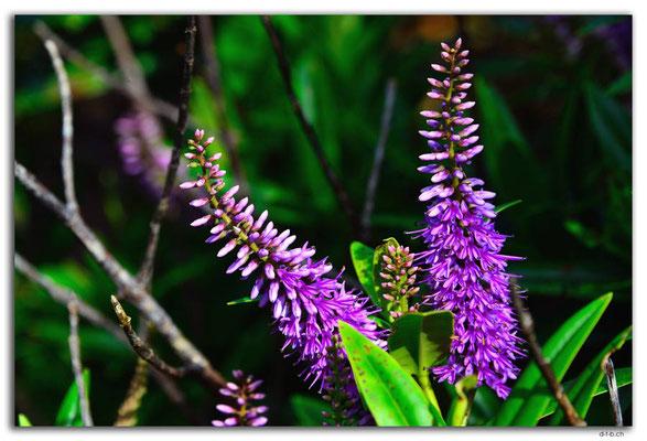 NZ0838.Stewart Island.Oban.Flower