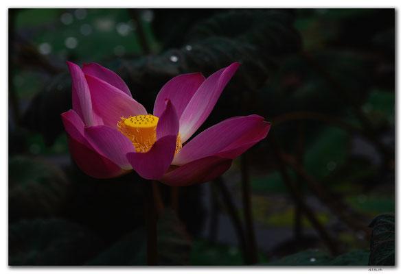 ID0046.Ubud.Pura Saraswati. Lotuspond