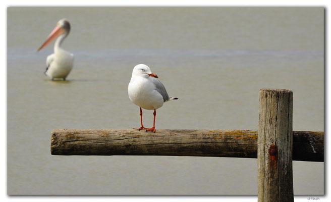 AU1117.Meningie.Möve und Pelikan