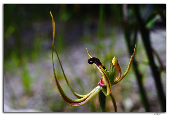 AU0782.Deep River.Sweet Lips Spider Orchid