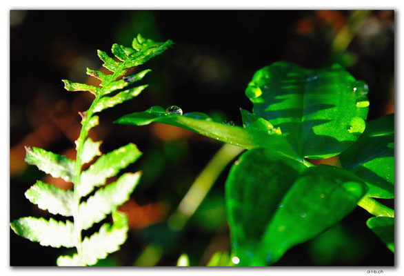 AU1485.Cann River Rainforest Walk.Tropfen