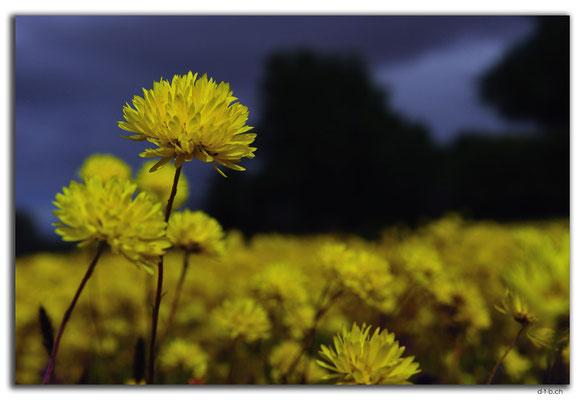 AU0410.Blume