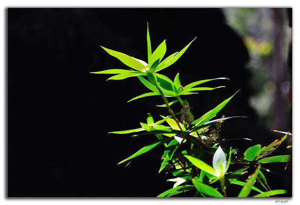AU0795.Tassel Flower
