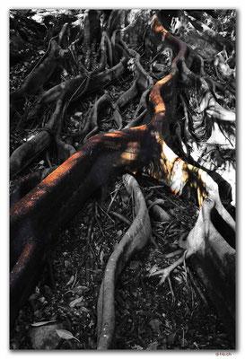 AU1646.Sydney.Don Richie Grove.Roots