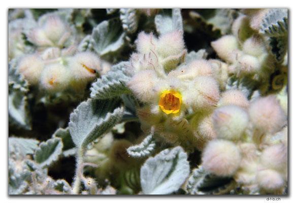 AU0351.Wooly Corchorus