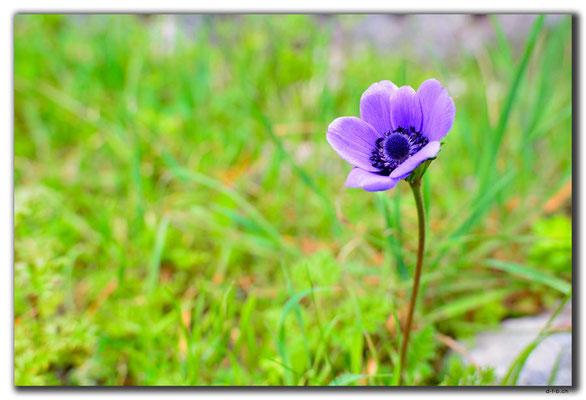 TR0198.Kayaköy.Blume