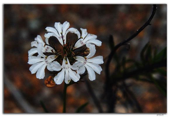 AU0834.Bandalup.Blume