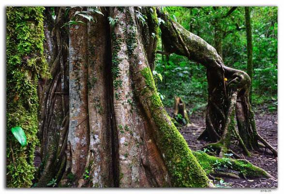 ID0191.Bedugul.Bot.Garten.Giant Fig Tree