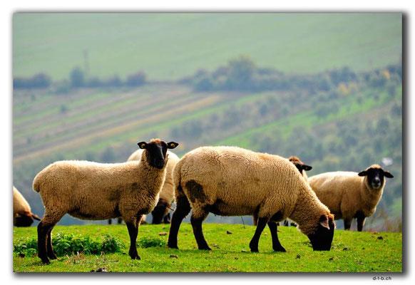 CZ168.Schafe bei Strani