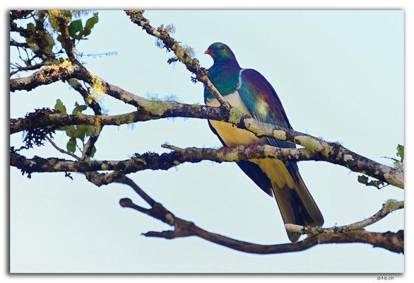 NZ0846.Stewart Island.Oban.Wood pigeon