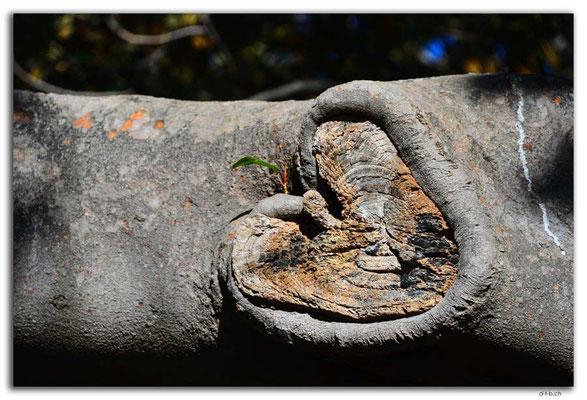 AU1702.Sydney.Herz im Baum