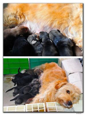 IR0006.Astara.Hündin mit 10 Puppies