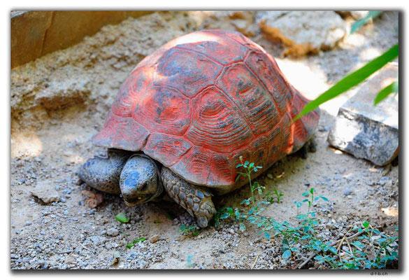 IR0138.Semirom.Schildkröte