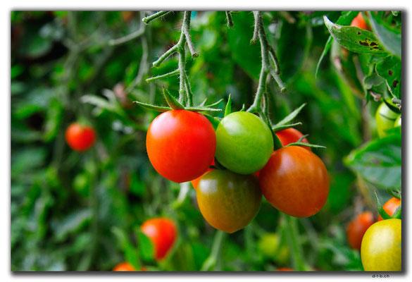 TR0234.Tomatenplantage