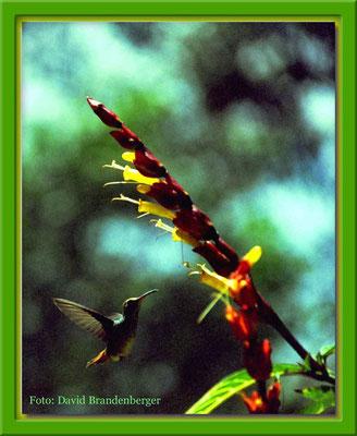 129.Kolibri,Mindo,Ecuador