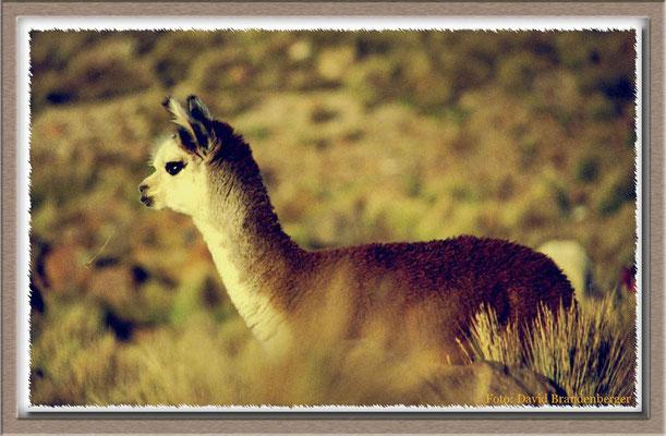 132.Lama,Parinacota,Chile