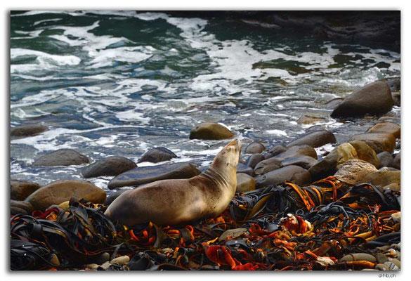 NZ0911.Curio Bay,Seal