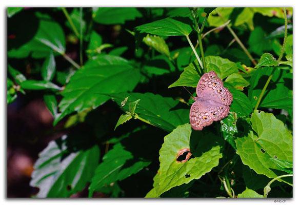 ID0075.Ubud.Schmetterling