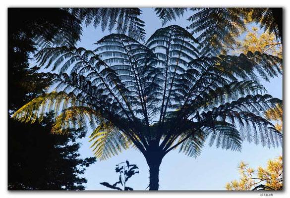 NZ0075.Waipoua,Silverfern