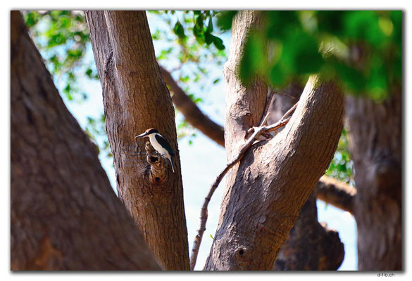 AU0071.Darwin.Mangroven.Forest Kingfisher