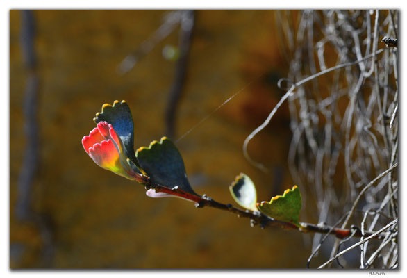 AU0845.Neds Corner Rd.Blätter