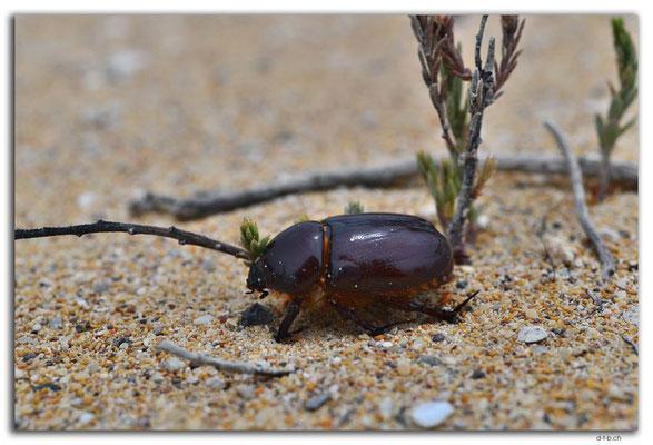 AU1016.Coffin Bay N.P.Golden Island Lookout.Käfer