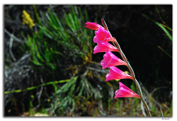 AU0622.Blume