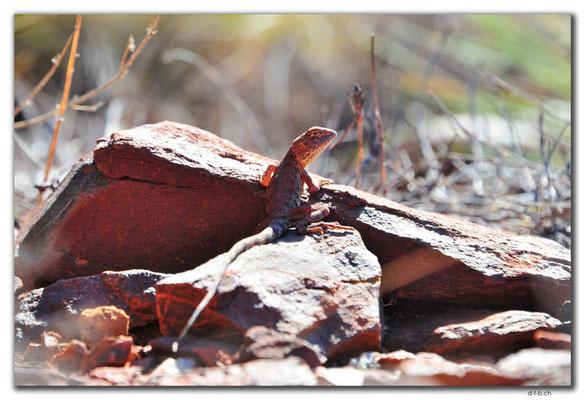 AU0331.Karratha.Lizard