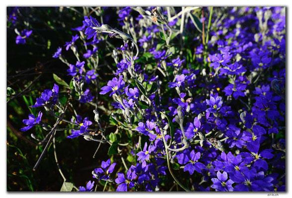 AU0506.Geraldton.Wildblume