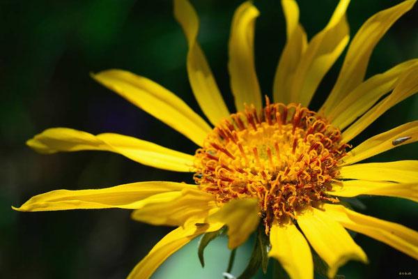 CA0233 Osoyoos Sonnenblume