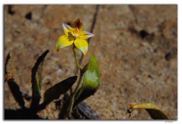 AU0521.Blume