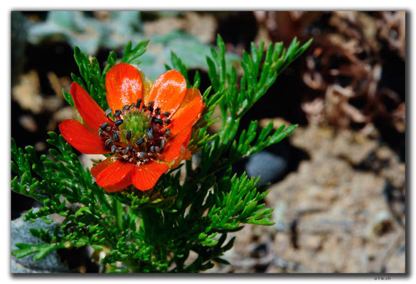 TR0663.Blume