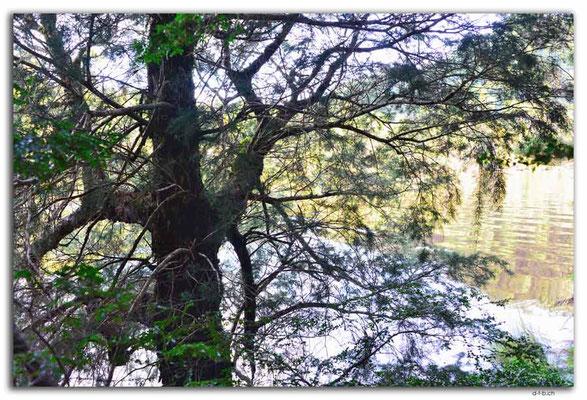 AU1436.Corinna.Huon Pine