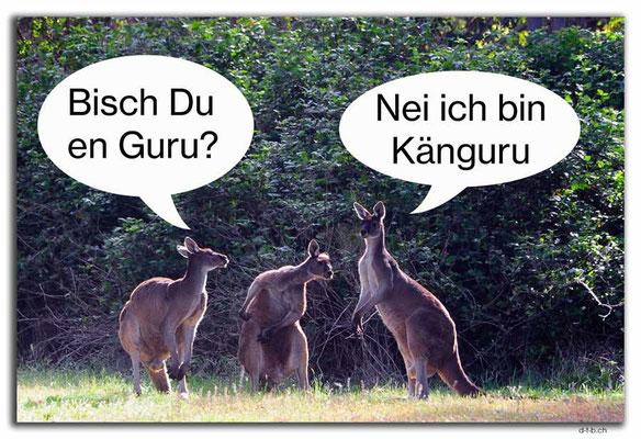 Australien.Quinninup.Känguru