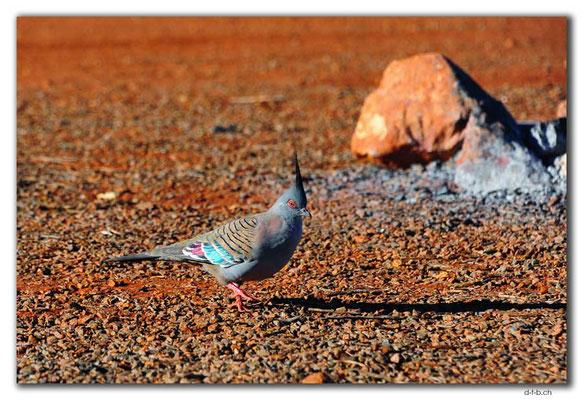 AU0360.Spinifex Pigeon