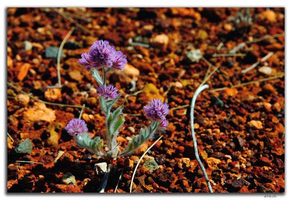 AU0358.Blume