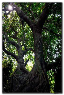 CN0479.Sanya.Yalong Bay Tropic Forest Park.Zwillingsbaum