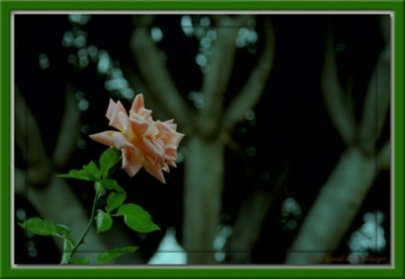 A0091 Rose,Orotava,Teneriffa.ES