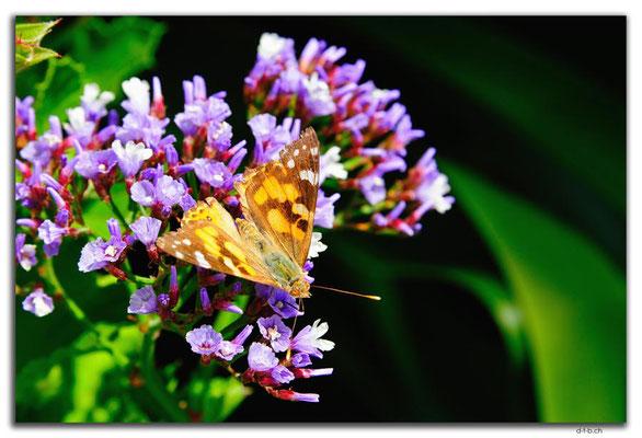 AU0836.Munglinup.Schmetterling