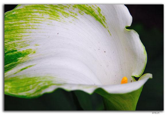 NZ0101.Kaipaia.Blume
