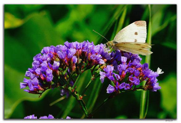 AU0835.Munglinup.Schmetterling