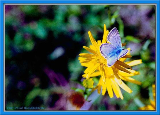 A0278.Schmetterling auf Blume,Mezzaselva.CH