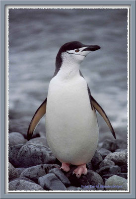 87.Zügelpinguin auf Halfmoon Island,South Shetland Islands
